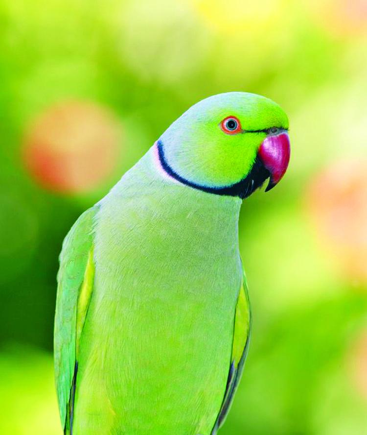 Ringneck Parakeets | IMAGES | Pinterest | Parakeets, Bird ...