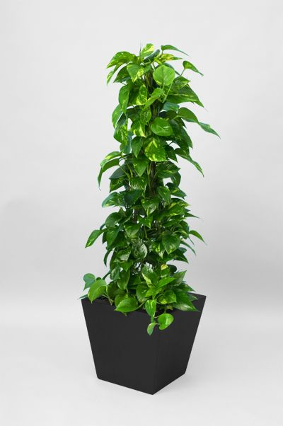 Golden Pothos Totem Pole Grow Golden Pothos Pothos