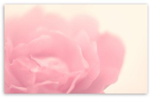 The Rose HD desktop wallpaper : Dual Monitor