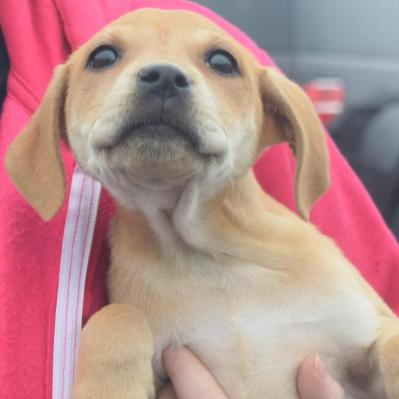 Adopt Lucy On Petfinder Yellow Labrador Retriever Labrador Retriever Yellow Labrador