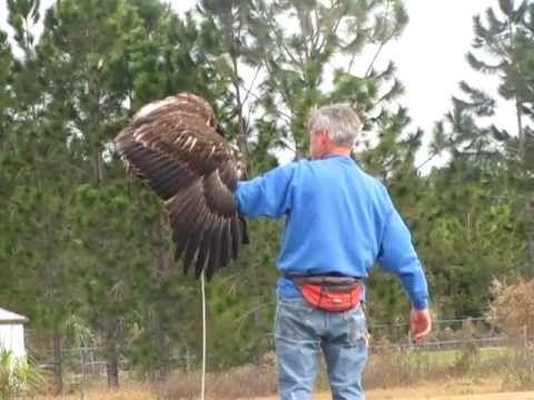 Arc Bald Eagle Falconry Training Falconry Bald Eagle Haliaeetus Leucocephalus