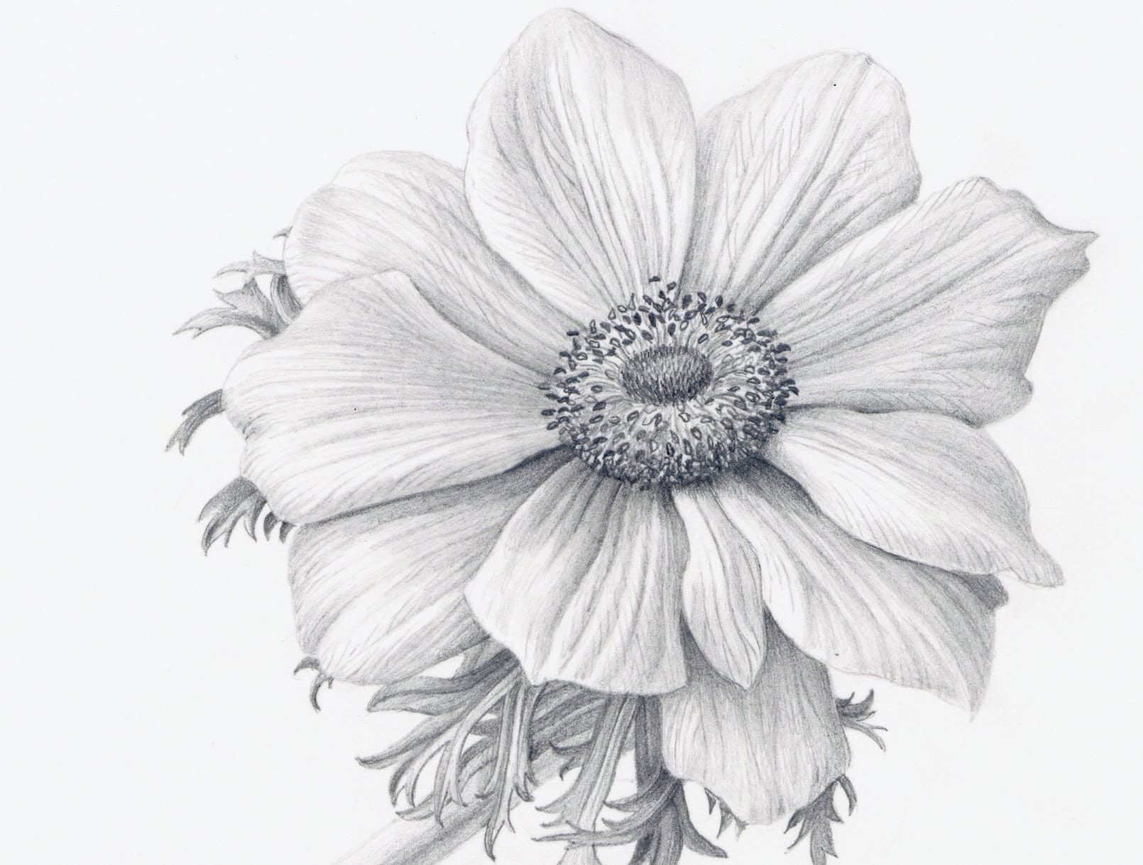 How To Draw Flowers Realistically Realistic Flower Drawing Realistic Drawings Pencil Drawings Of Flowers