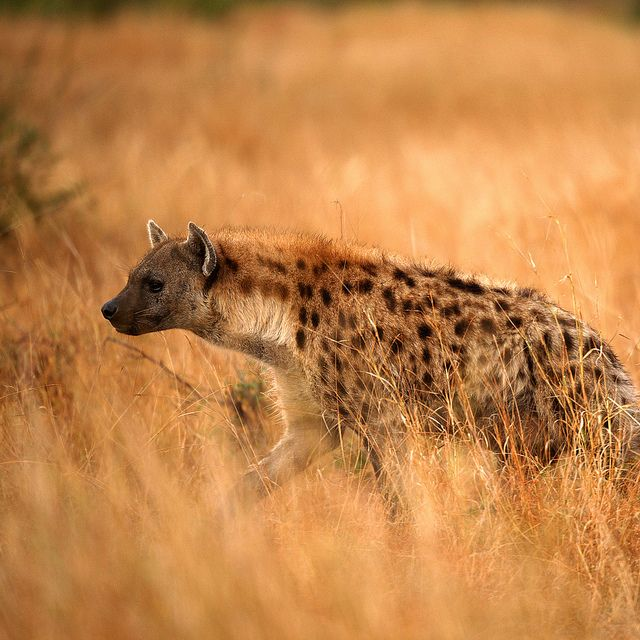 Female Hyenas Tend To Have Three Times As Much Testosterone Than
