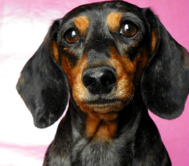 dailydoxie.com - Free daily dachshund pictures / doxie pictures and dachshund resources