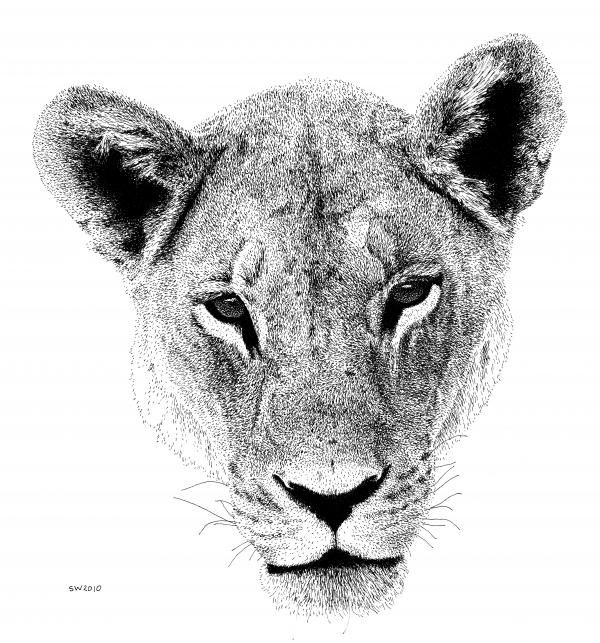 Lion Drawing   scottwo...