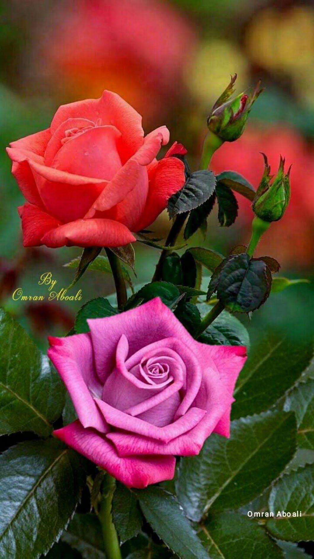 flowers pinterest hybrid tea roses flowers and flower pictures flowers pics pink flowers pink roses hybrid tea roses izmirmasajfo