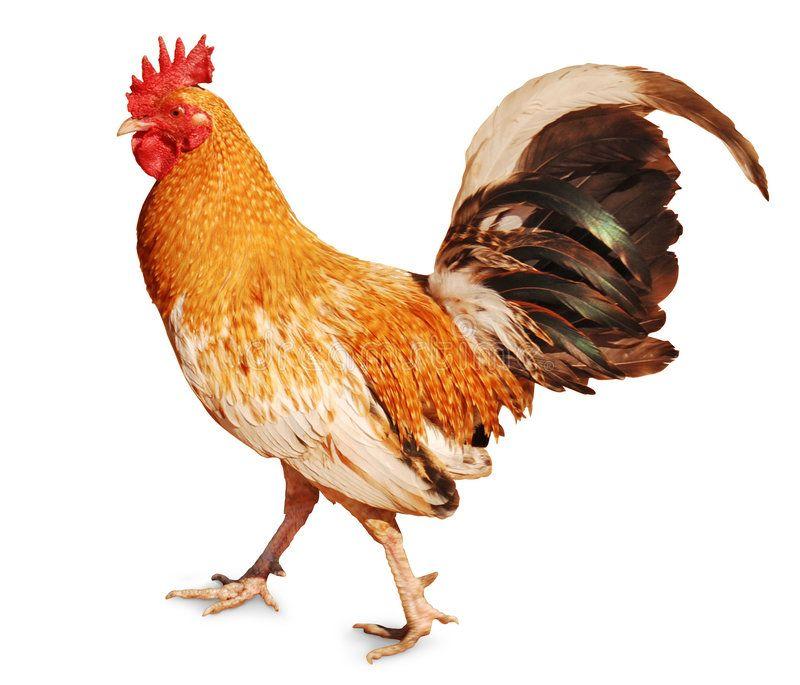 cock   bird name