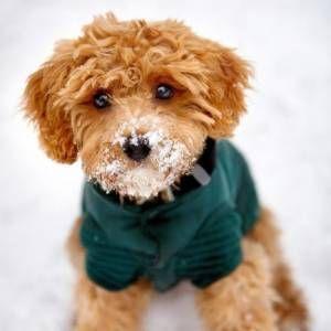 Designer Dog Breeds List Of The Cutest Hybrid Dog Breeds And