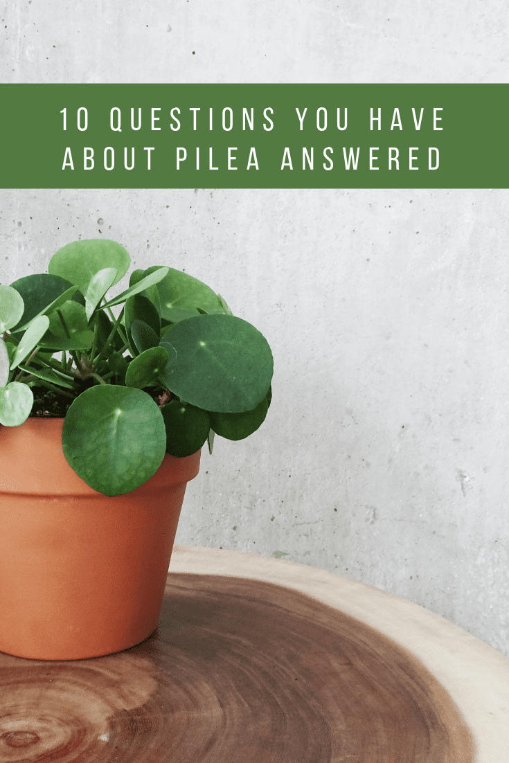 10 Questions You Have About Pilea Answered is part of Plants, This or that questions, Low light plants, Houseplants indoor, Indoor plants, Plant help - Whether you are a beginner or just looking to up your Pilea game, these answers will have you covered!