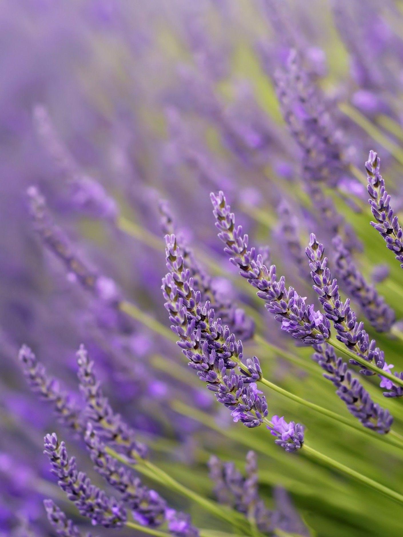 Homemade Lavender Bath Salts Lavender Plant Insect Repellent Plants Scent Garden