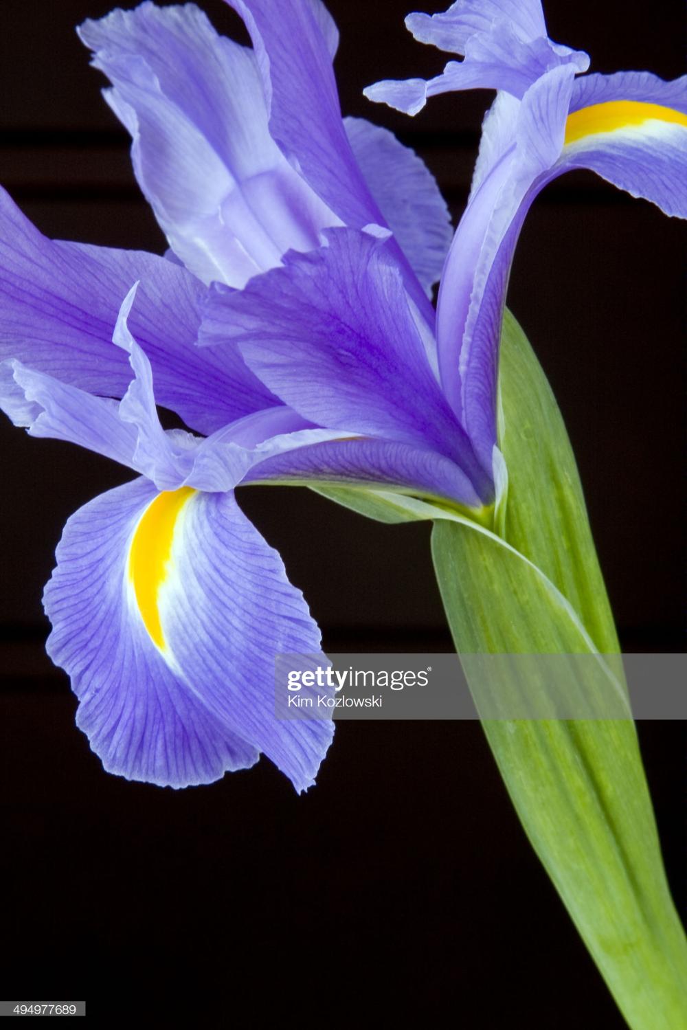Stock Photo Single Purple Iris In 2020 Purple Iris Macro Photos Macro Photography