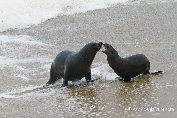La Galerie - Christine et Michel Denis Huot photographes animaliers  -  - Otarie à fourrure du Cap - 27458 - sea lions
