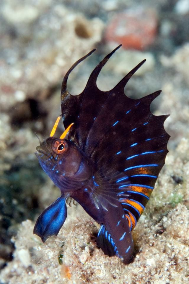 gulf signal blenny emblemaria hypacanthus ultimatereef com