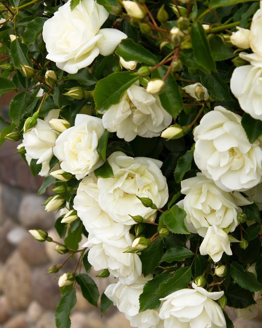 Monroviaplants On Instagram With Sparkling White Blooms The