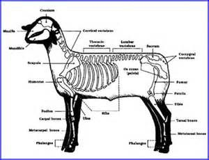 Sheep Skeleton Diagram 96 Jeep Grand Cherokee Stereo Wiring Bone Structure Of A Bing Images Animal