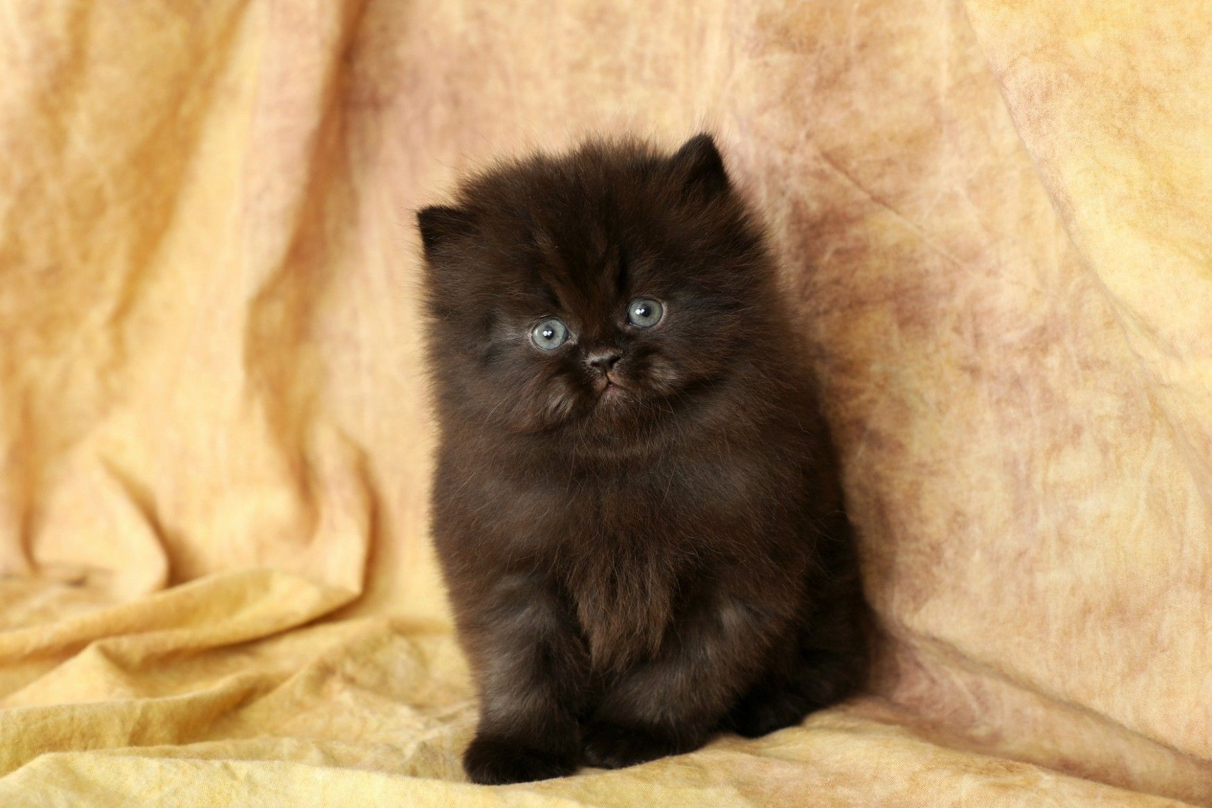 11 Best Doll Face Persian Kitten Price Image In 2020 Persian Kittens Kitten Pictures Kittens Cutest Baby