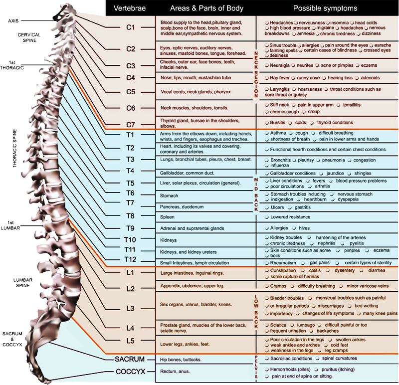 Spinal nerve education the spine center chiropractic 800x772