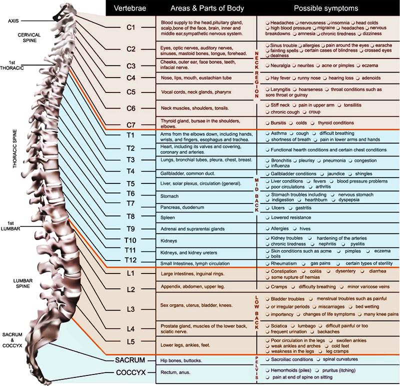 VertebralSubluxationChart_800x772.png (800×772) Sinus
