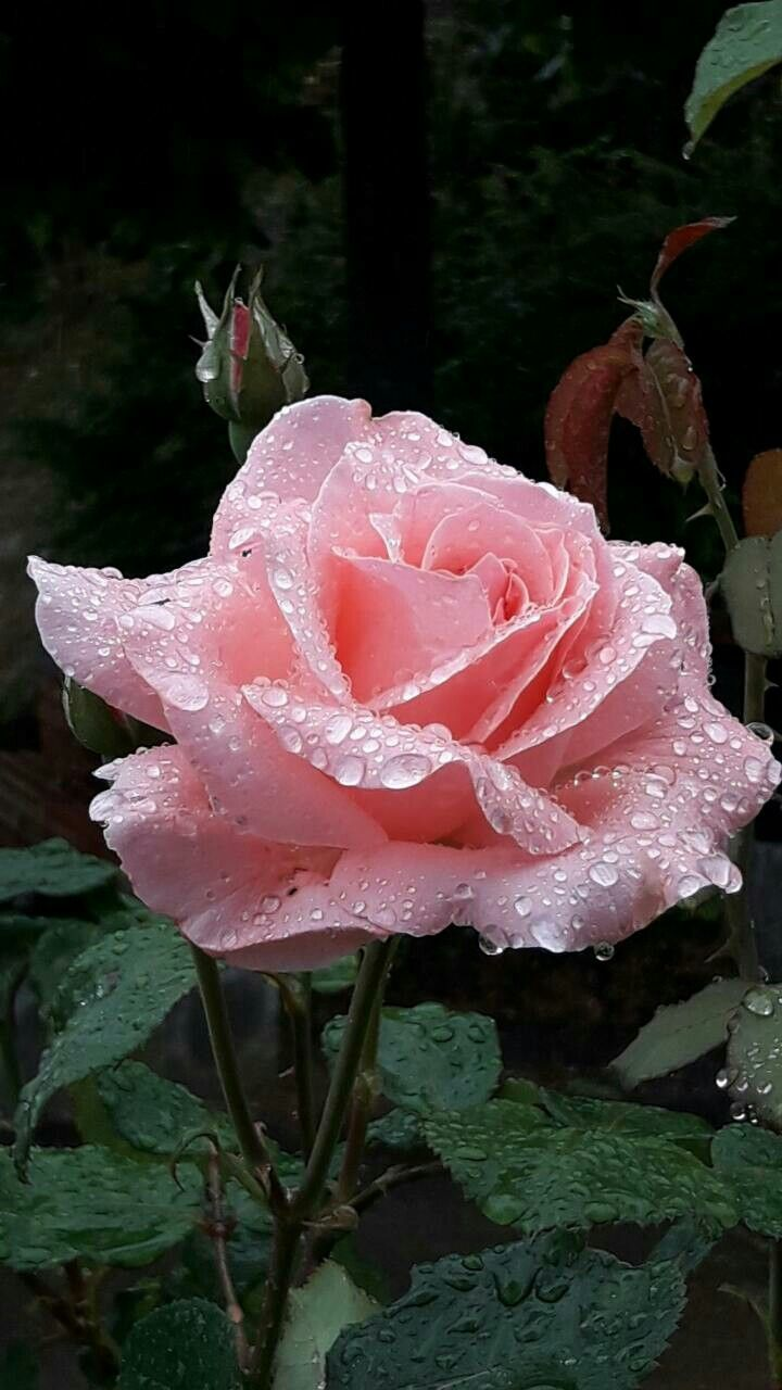 Lovely Pink Rose With Mornings Dew Roses Pinterest Beautiful