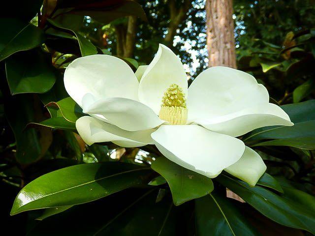 Kay Parris Magnolia Magnolia Grandiflora Evergreen Magnolia Magnolia Trees