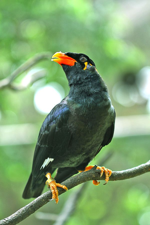 Mynah bird. Some mynas are considered talking birds, for ... - photo#27