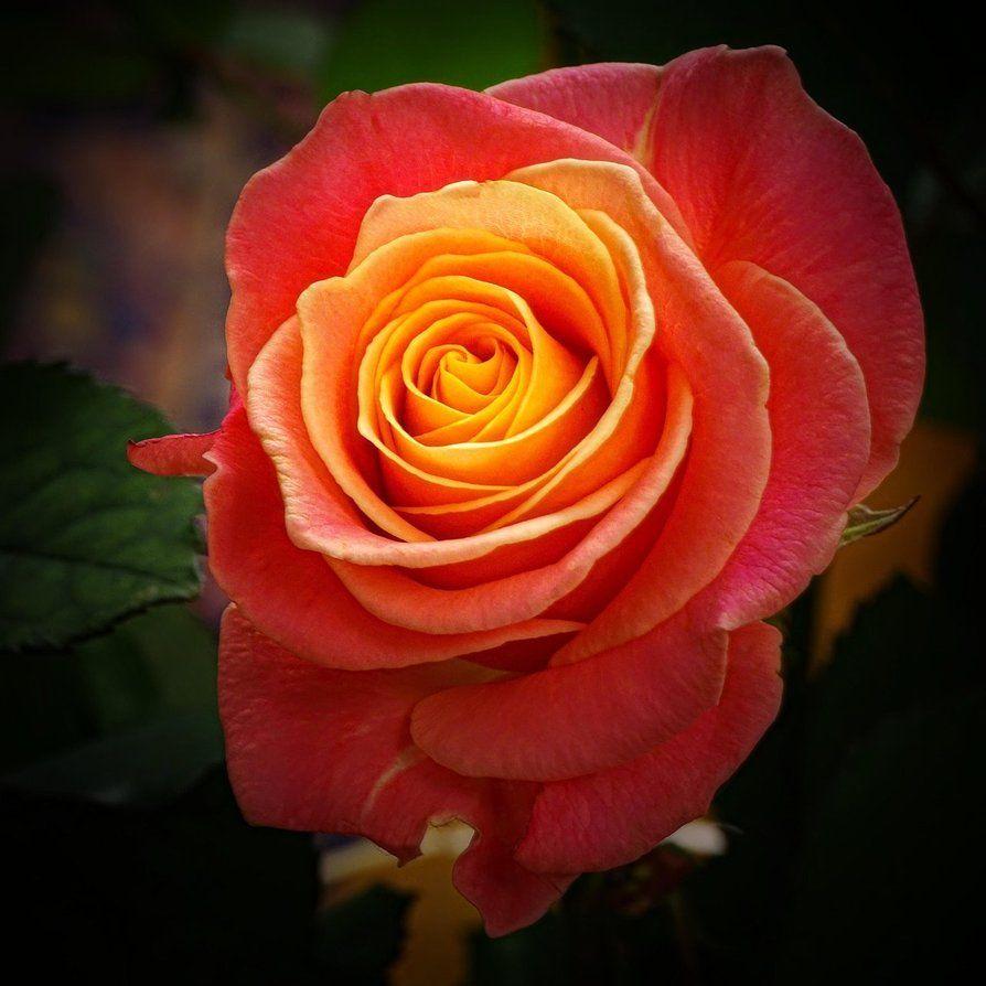 Rosejm3455 By Joergens Mi On Deviantart Very Beautiful Flowers