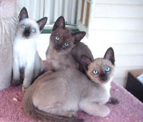 Tonkenese Tonkinese Cat Tonkinese Kittens Cute Cats And Kittens