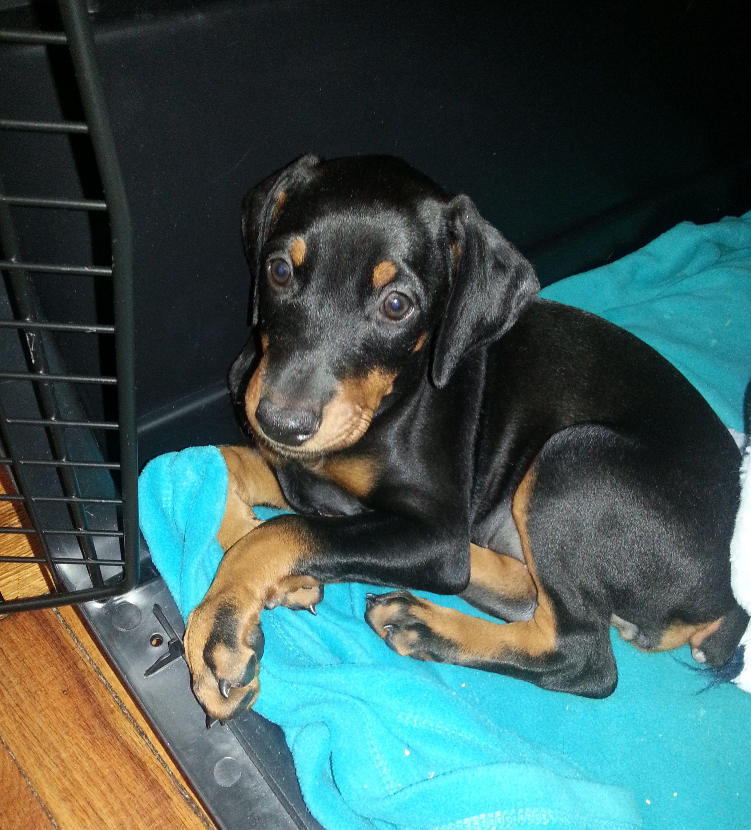 1st Day Home In Nj 7 Weeks Old Doberman Pinscher Puppy Doberman