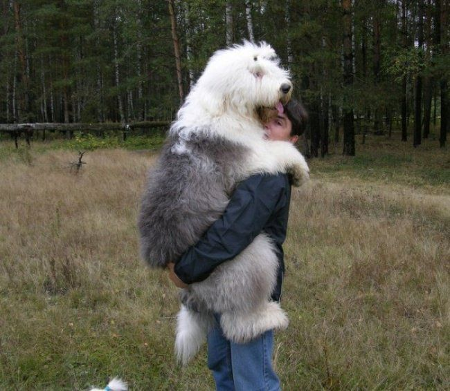 20 Dogs That Clearly Have No Idea How Huge They Are! Too Funny! | Giant dog breeds, Giant dogs, Huge dogs