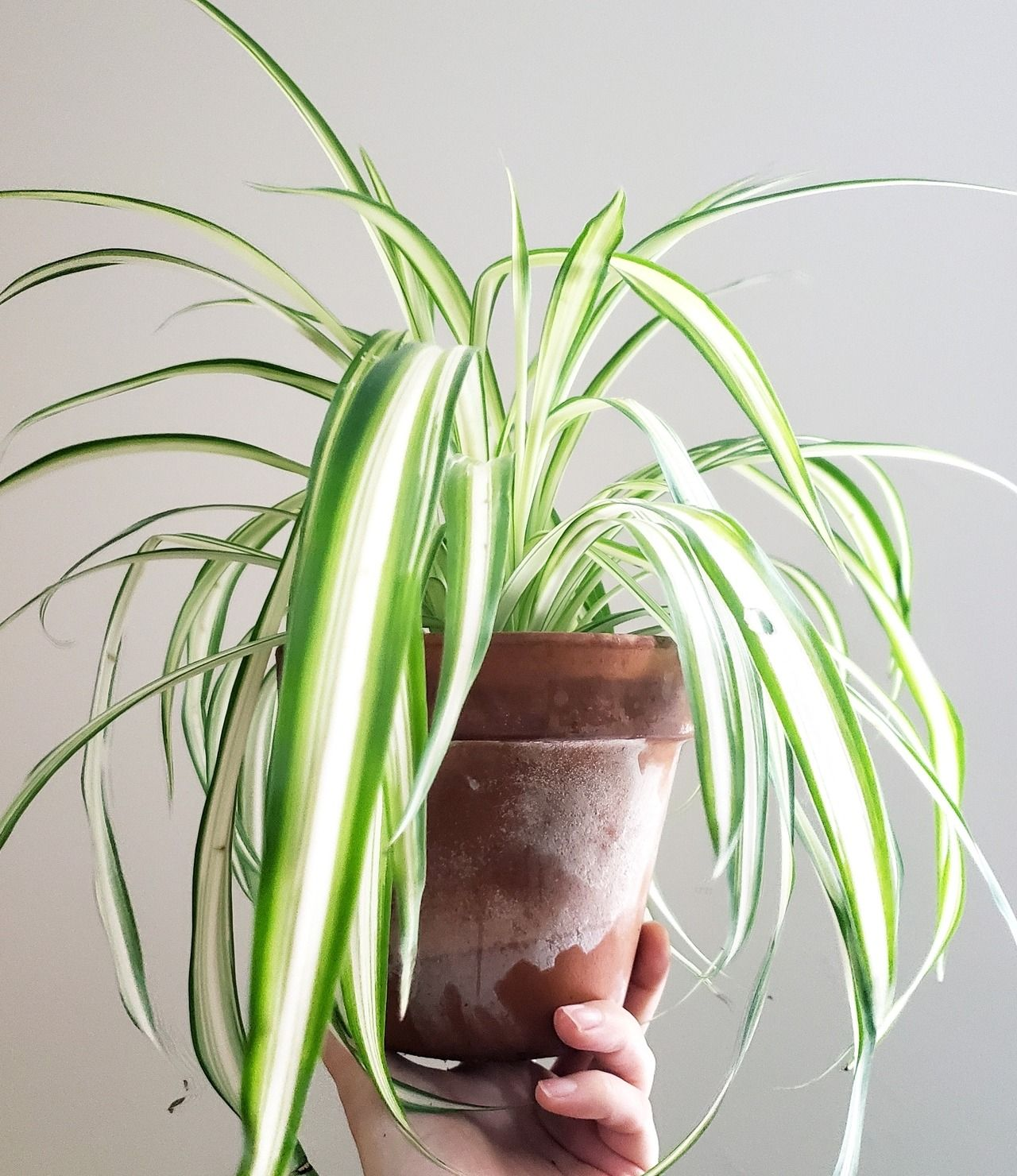 Spider plant how an easy care plant can help purify the air in your