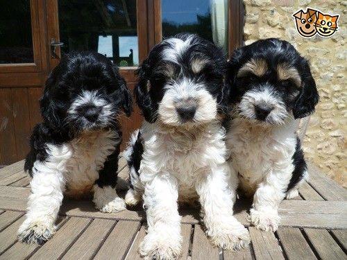 Cockapoo F1 Black White Pups Prizewinning Lines Wellington Somerset Pets4homes Cockapoo Black Cockapoo Pet People