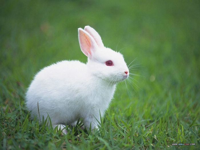 Rabbit Is A Symbol Of Quick Thinking Fertility And Strengthening