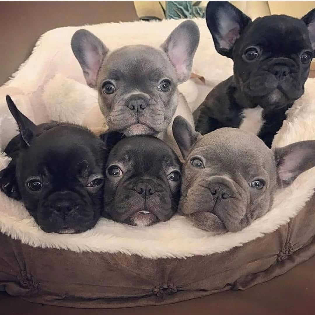Such Adorable French Bulldog Puppies I Would Love To Take Them All Home Bulldogspuppies Franzosische Bulldoggenbabys