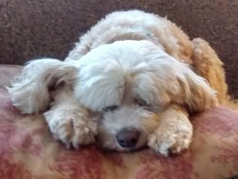 Adopt Izzy On Petfinder Poodle Mix Dogs Maltese Dogs Maltese Poodle Mix