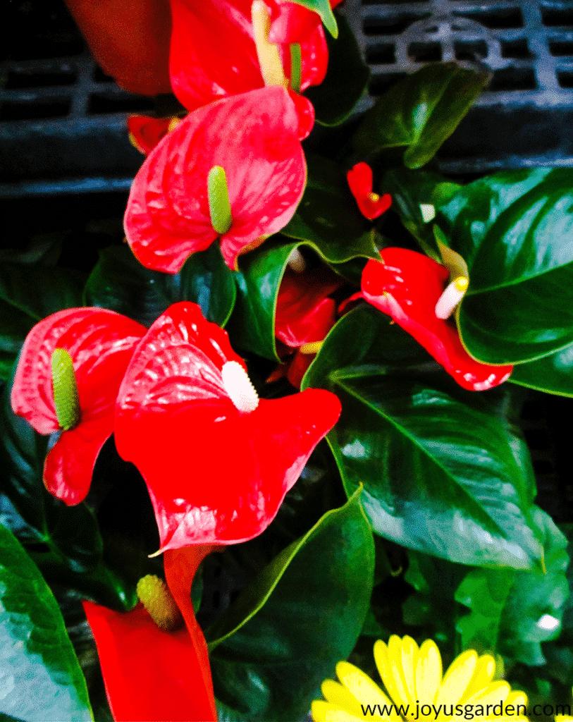 Anthurium Care Growing Tips Anthurium Care Anthurium Lily Plants