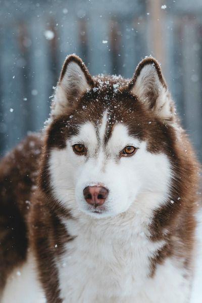 Siberian Husky Tumblr Red Husky Siberian Husky Dog Siberian