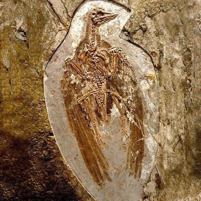 Fóssil de pássaro primitivo - Confuciusornis sanctus, com 125 a 120 milhões de anos atrás (Período Mesozóico), encontrado em  Liaoning, Província da China