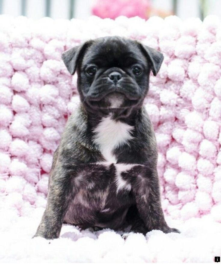 Bugg Puppies For Sale Pa Ideas