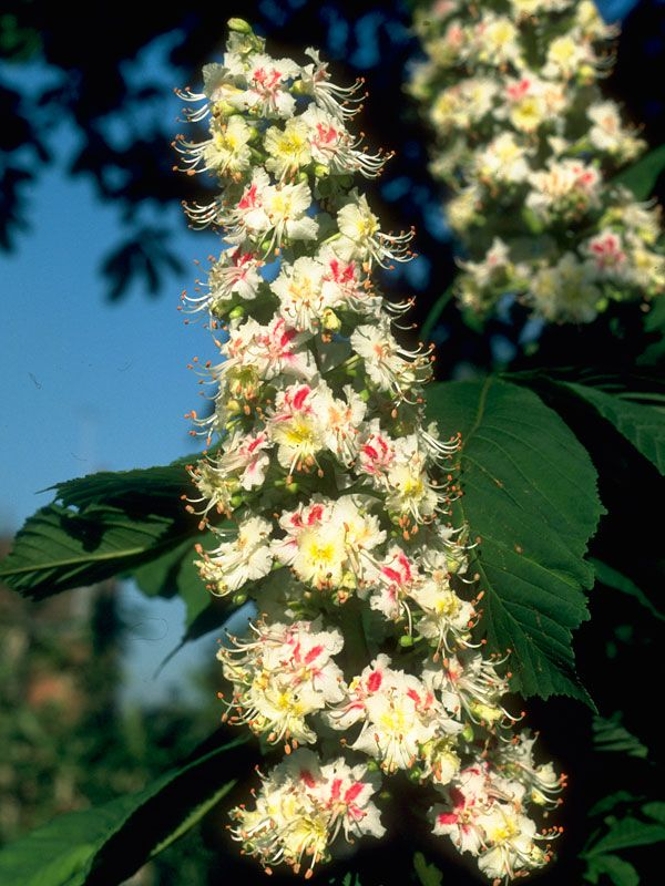 White chestnut bach flower remedies pinterest white chestnut learn more about white chestnut bach flower essence mightylinksfo Image collections