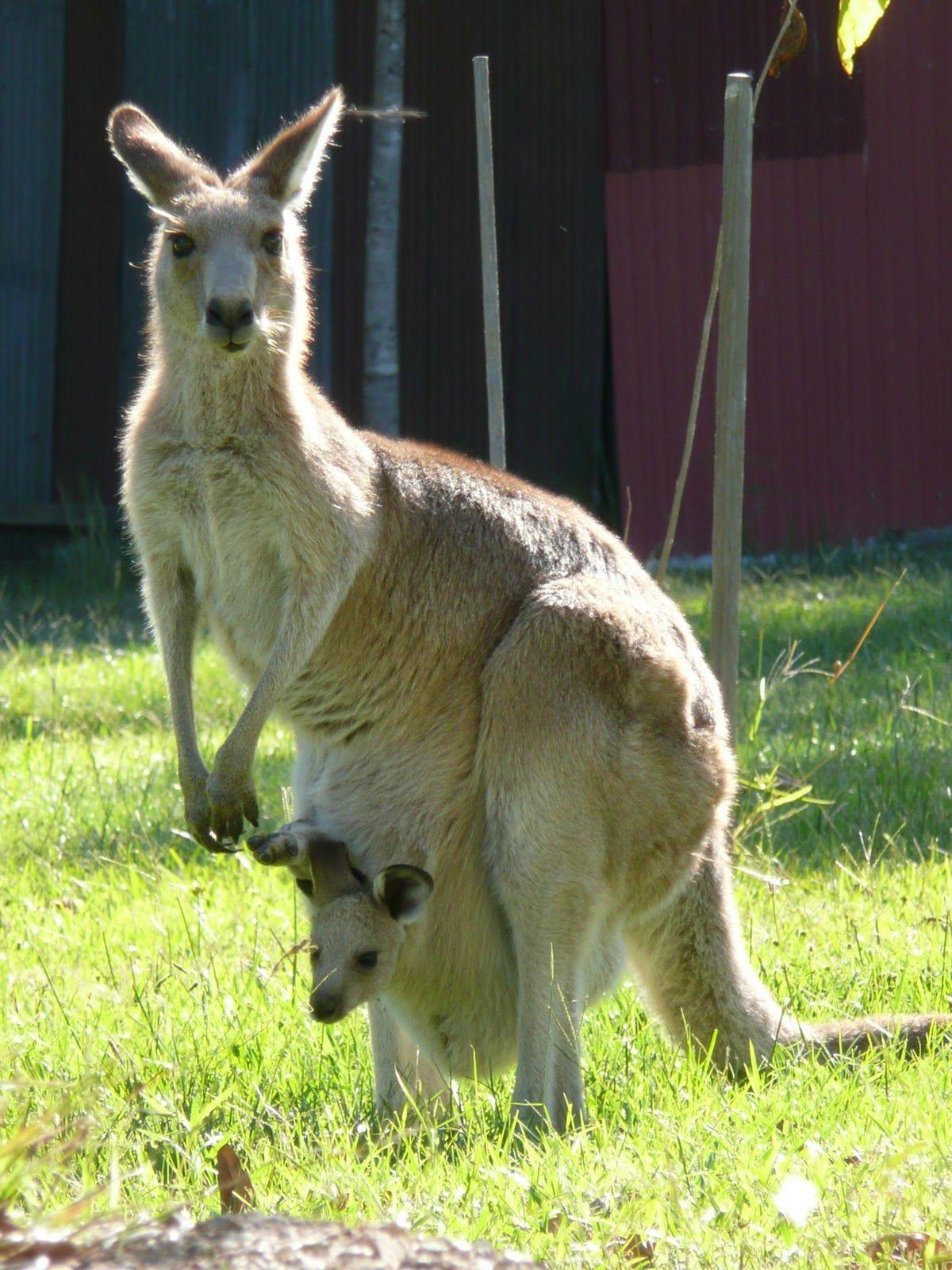 Kangaroo mama Animals, Australia animals, Australian animals