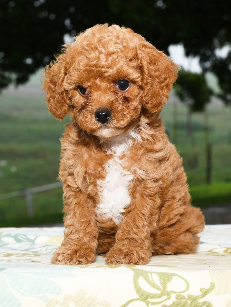 Kindhearted Cavapoo Teacup Poodle Puppies Cavapoo Puppies Havapoo Puppies