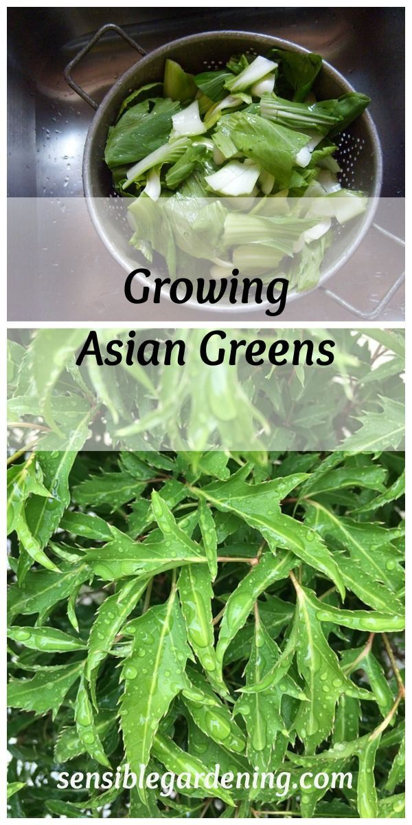 Growing Asian Greens | Asian, Gardens and Vegetable garden