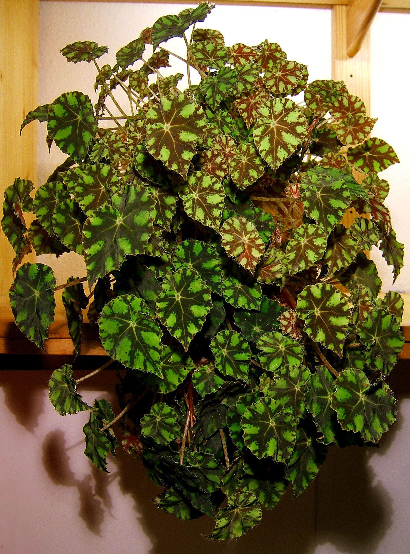 Begonia bowerae begonias plus - Begonie zimmerpflanze ...