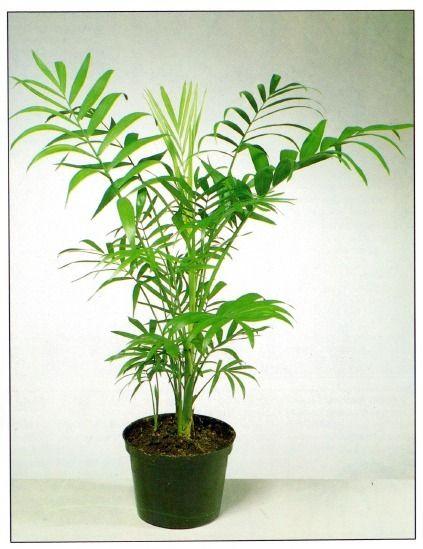 9dc22e5f7f2 Parlour Palm – Chamaedorea elegans