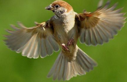 Download Mp3 Suara Kicau Burung Gereja Tarung Sounds Of Birds Cute Animals Animals