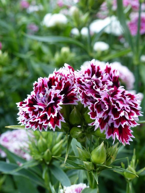 Dianthus barbatus x chinensis 'Kensington Mix' | Perennial ...