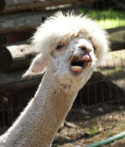 Our Alpaca Alpakas Lamas Lama