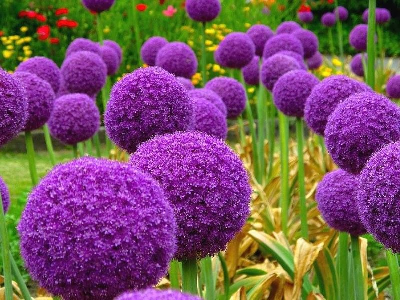 Succomberez Vous Aux Charmes De L Allium Giganteum Globemaster Des Bulbes Sont Disponibles Dans Notre Jardin Bonsai Flower Pretty Flowers Planting Flowers