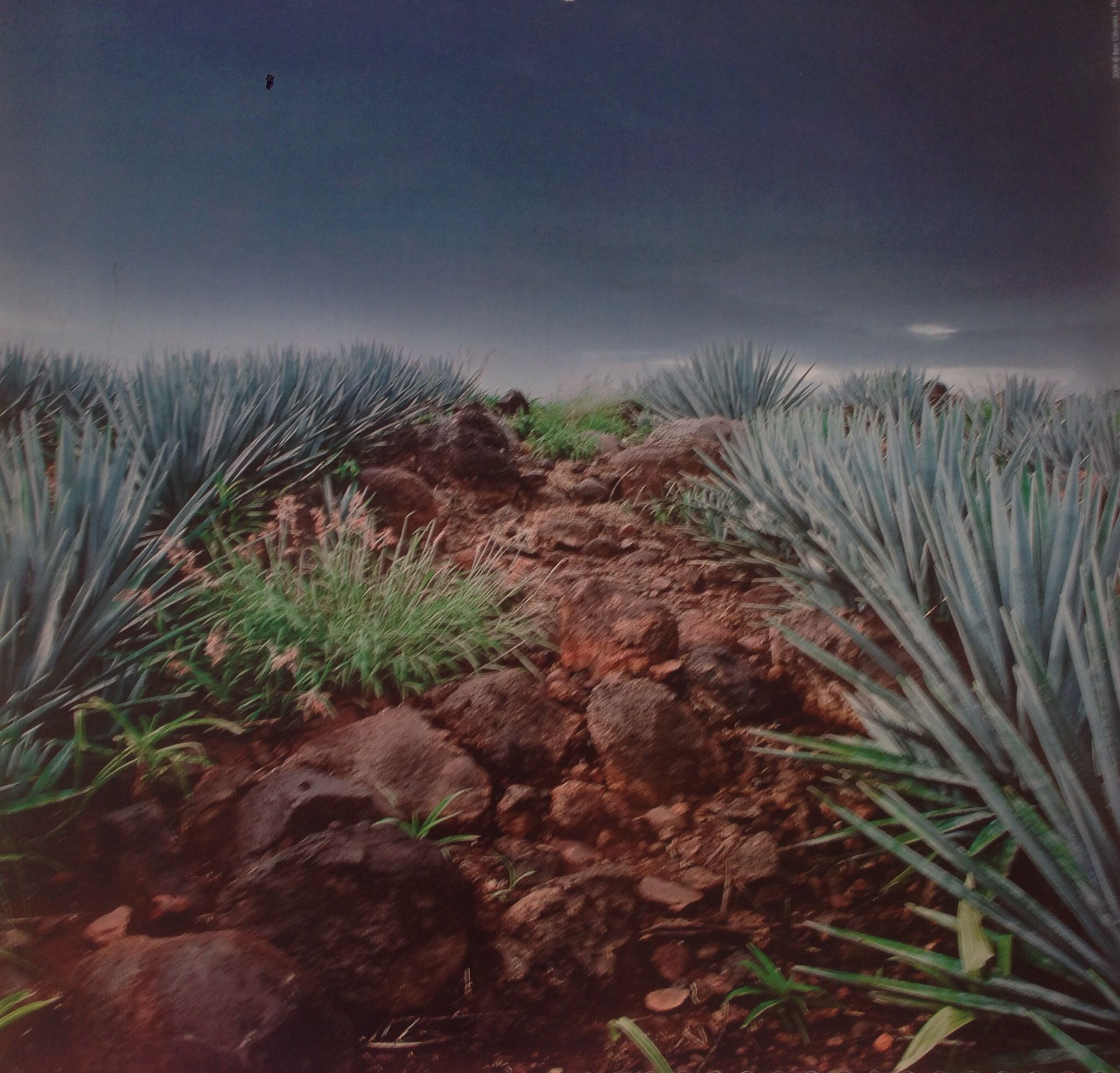 Agave in Tequila, México