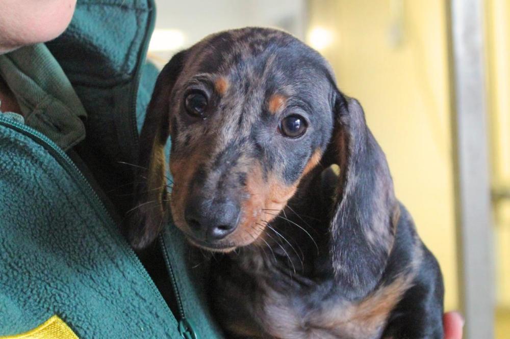 Adopt A Dog Acorn Dachshund Std Smooth Hr Dogs Trust In 2020 Dogs Dog Adoption Unusual Dog Breeds